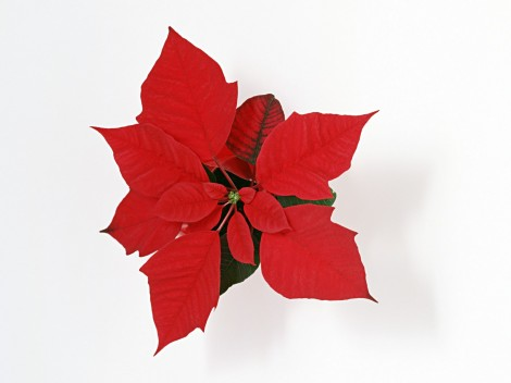 Christmas-Flower-287391