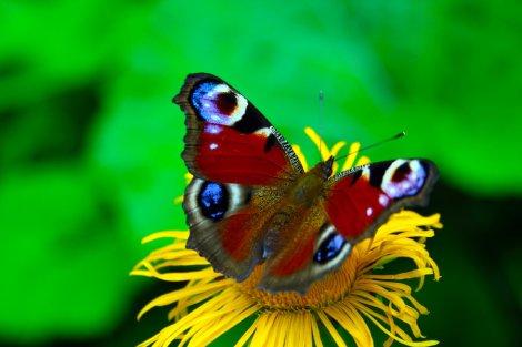 Romanian_Butterfly_by_Kurikku