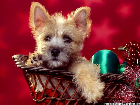 Sweet-Christmas-Terrier-370894