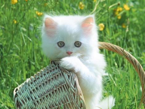 1680x1050-fondo-gatito-blanco-white.kitty.soft.kitty.little.ball.of.fur