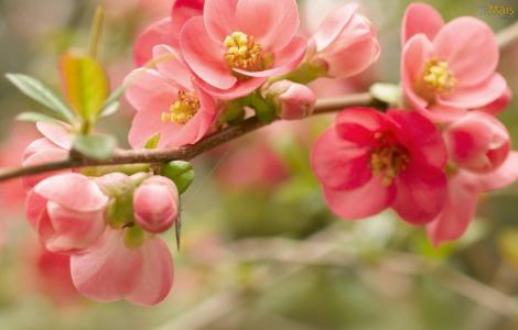 flores-cerejeira-wallpaper-1600x1024