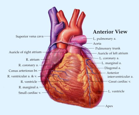 Heart_Anterior_View_copy