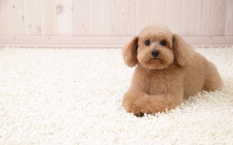 puppy-dog-wallpapers_7833_1280x800