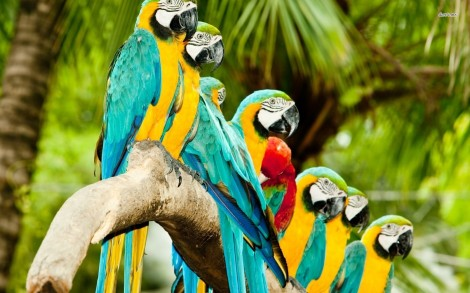 10547-macaws-on-a-branch-1680x1050-animal-wallpaper