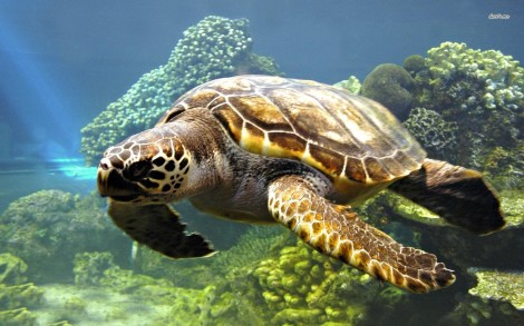 10558-sea-turtle-1680x1050-animal-wallpaper