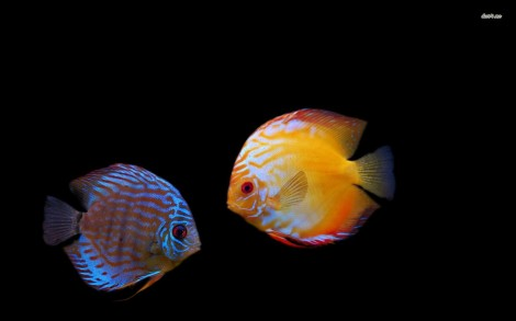 10568-tropical-fish-1680x1050-animal-wallpaper