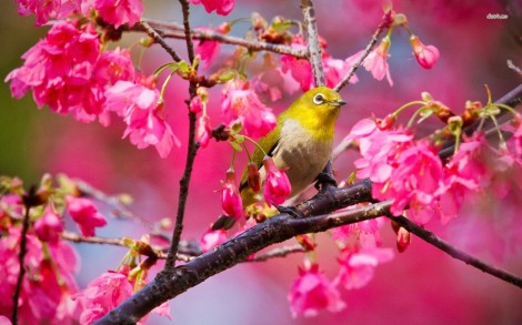 10571-yellow-bird-1680x1050-animal-wallpaper