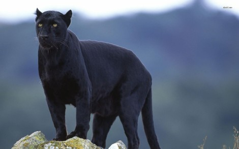 11295-black-panther-1680x1050-animal-wallpaper