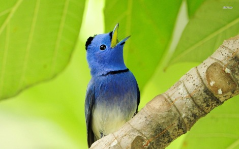 11296-black-naped-monarch-1680x1050-animal-wallpaper