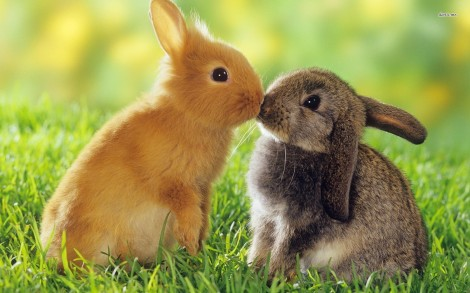 11299-bunny-love-1680x1050-animal-wallpaper