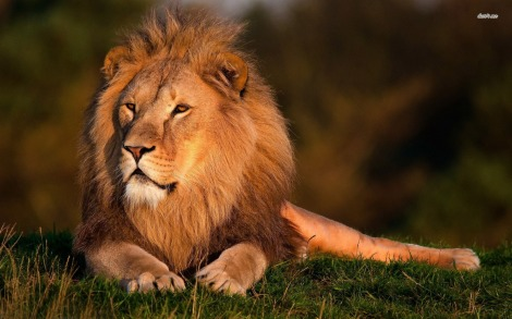 11311-lion-1680x1050-animal-wallpaper