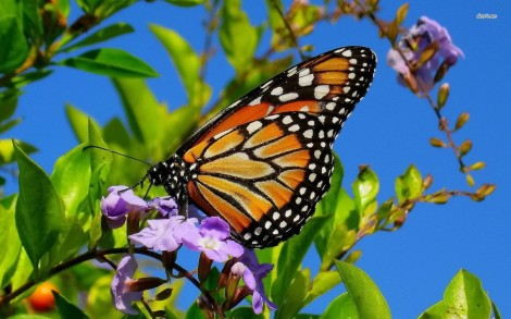 11313-monarch-butterfly-1680x1050-animal-wallpaper