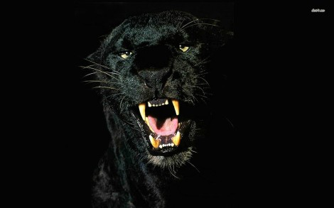 11314-panther-1680x1050-animal-wallpaper