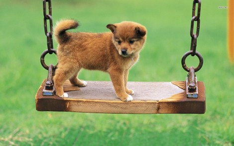 11316-puppy-on-a-swing-1680x1050-animal-wallpaper