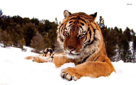 11323-sumatran-tiger-in-the-snow-1680x1050-animal-wallpaper