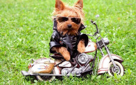11328-yorkshire-terrier-in-biker-suit-1680x1050-animal-wallpaper
