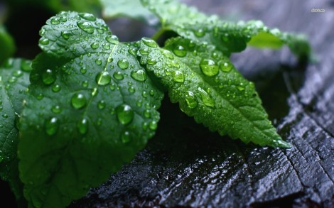 11840-water-drops-on-green-leaves-1680x1050-nature-wallpaper-1