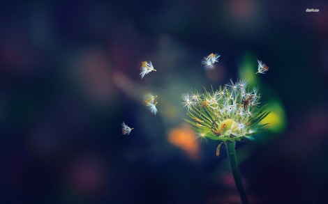 11858-dandelion-falling-apart-1680x1050-photography-wallpaper