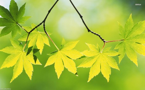 11885-maple-leaves-1680x1050-photography-wallpaper