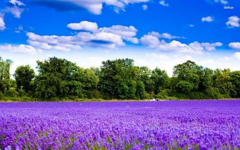 4336-lavender-field-1680x1050-nature-wallpaper
