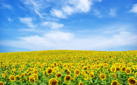 5486-sunflower-landscape-wallpaper