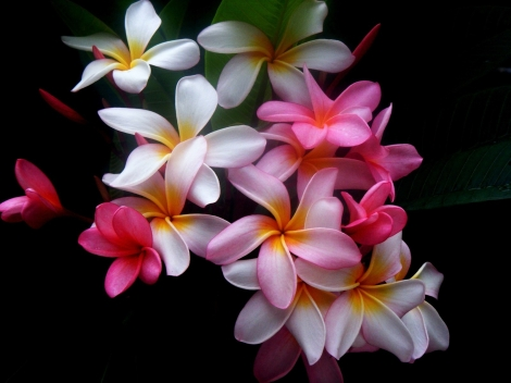 Plumeria-flowers-colored-black-background-35135-1600x1200-jpg