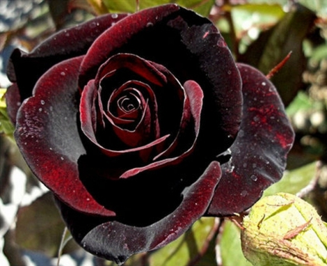 rose.darkred.thumb_20