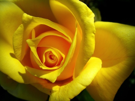 yellow_rose_wallpaper_hd-1600x1200